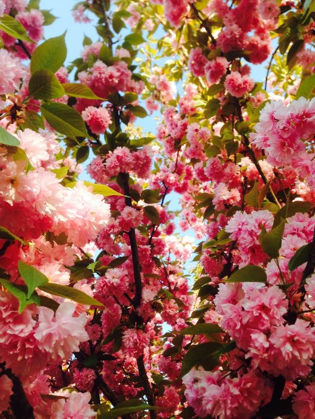 Cerisier du japon - La Ferme d'Elouise